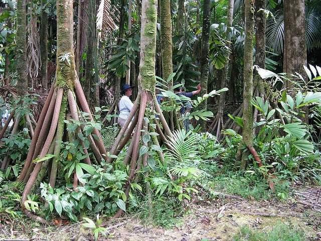 wALKING TREE ECUADOR