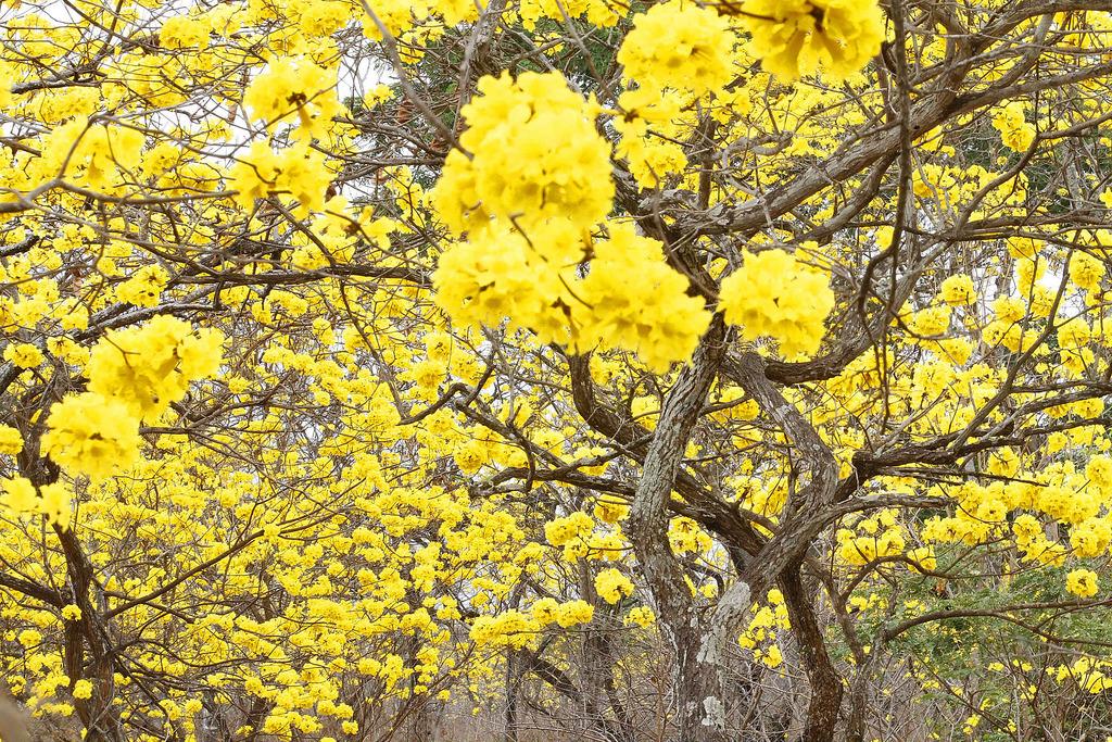 guayacanes-trees-guayas-ecuador